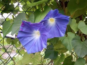 早朝ウオーキング時に出会ったお花です。みずみずしいですね。
